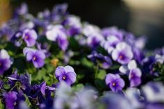 Wisconsin State Flower | Wood Violet. Wisconsin state flower.