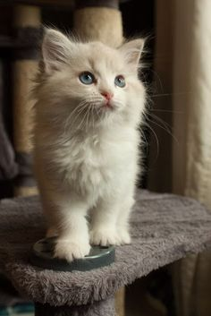 White kitten on a chair. Cats and Kittens > https://www.pinterest.com/trevorellestad/all-the-cats/