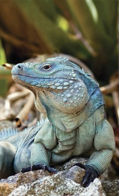 Gorgeous George, a rare Grand Cayman blue iguana