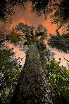 Waipoua Forest,, Northland Region, New Zealand: Kauri Tree. Beautiful World, Beautiful Places, Kauri Tree, Photo Voyage, Dame Nature, Tree Forest, Bonsai, Places To See, Destinations
