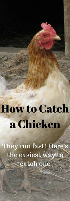 The absolute easiest way to catch a chicken. Ever tried to catch one? They run pretty fast when they don't want to be caught.
