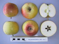 Borisdorfer is an ancient variety. Fruits are firm, sweet, juicy and lightly scented with elderflower. Fruit Tree Nursery, Trees Online, Elderflower, Apple Tree, Fruit Trees, Apples, Sweet, Apple