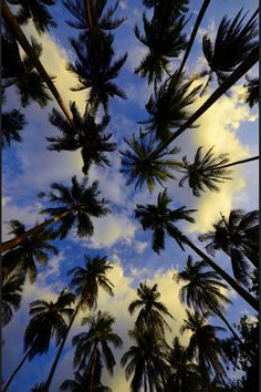 palm trees of california