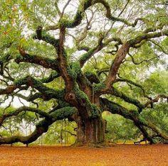Angel oak - est. 1,400 yrs old-oldest oak in the country, South Carolina