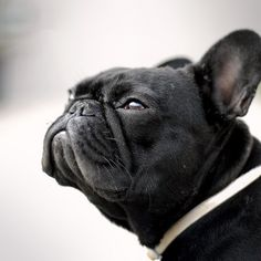 always love a French Bulldog.  So adorable!