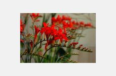 Crocosmia X crocosmiiflora Lucifer achat/vente en ligne en Suisse