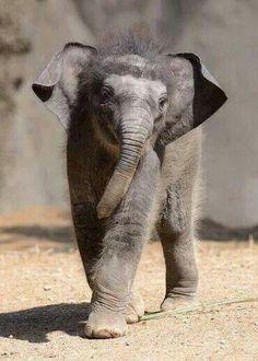 """Priya"" the baby Asian elephant - phto by Ray Meibaum, via Zooborns; at the Saint Louis Zoo Asian Elephant, Elephant Love, Elephant Gifts, Elephant Images, Mundo Animal, My Animal, Beautiful Creatures, Animals Beautiful, Hello Beautiful"