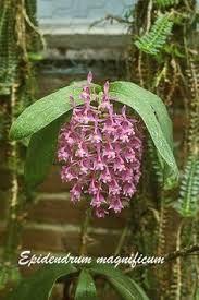 Epidendrum magnificum