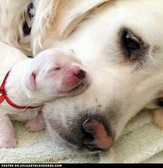Newborn puppy snuggle with her sweet momma  Via @bomby_pizza  For more cute dogs and puppies