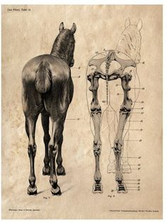 Horse anatomy Skeleton Prints - Two Matching Vintage Science Animal Study Posters. Horse Anatomy, Animal Anatomy, Anatomy Art, Anatomy Drawing, Horse Drawings, Animal Drawings, Art Drawings, Drawing Art, Animal Skeletons