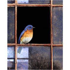 Bluebird Window Canvas Wall Art ($112) ❤ liked on Polyvore featuring home, home decor, wall art, window wall art, blue bird wall art, canvas home decor and canvas wall art
