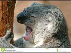 Photo about A very tired koala has a yawn. Image of yawn, koala, yawning - 1546020 Funny Koala, Funny Animals, Cute Animals, Zombie Life, Lazy Humor, Tasmanian Devil, My Spirit Animal, Endangered Species, Mammals