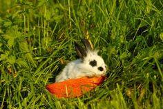 Pygmy Rabbit - imageBROKER/REX Shutterstock/Rex Images