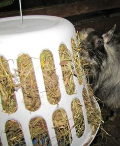 Goat feeder. Don't know why I pinned this. Just ingenious! This is how I will feed all my goats.