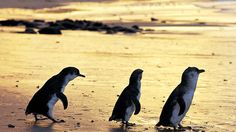 Penguins at Summerland Beach on Phillip Island, Australia
