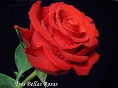 Tres Bellas Rosas: Rosas de los jardines , bellísimas