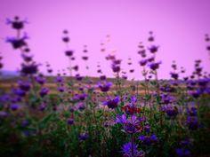 Purple Sun #sunset_madness #sunsets #california #sky #clouds #sunsetlovers #sunset_pics #sunsetporn #art #writer #paint #painting #poet #poetry #philosophy #psychology #nature #beauty #film #movie #disney #naturelovers #skylovers #sun #tree #trees #flower #garden #ig_sunsets #writersofinstagram