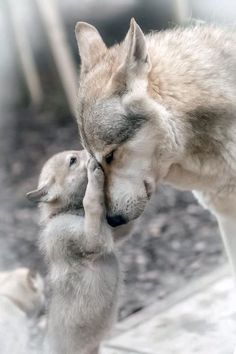 Wolf Photos, Wolf Pictures, Animal Pictures, Wolf Love, Beautiful Wolves, Animals Beautiful, Beautiful Creatures, Nature Animals, Animals And Pets