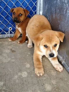 I CAN'T EVEN BELIEVE I HAVE TO POST THIS!!! 6 WEEK OLD PUPPIES WILL BE EUTHANIZED DUE TO POTTY ISSUES! SAN ANTONIO, TX -- This shelter is ruthless!! Please share to save them!  To adopt, foster/ rescue email: placement@sanantoniopetsalive.org Animal ID#s: 286962, 286961 https://www.facebook.com/photo.php?fbid=442293065873217&set=a.441996222569568.1073742364.236899813079211&type=1&theater&notif_t=comment_mention