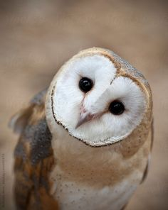 Curious Barn Owl Closeup Portrait by macropixel | Stocksy United