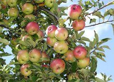 Five fruit trees of Missouri