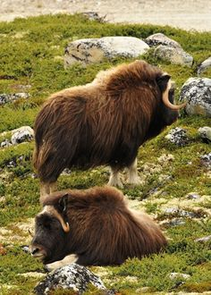 Musk ox safari in Dovre and Sunndalsfjella National
