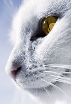 The whitest cat I know by Villi.Ingi, via Flickr