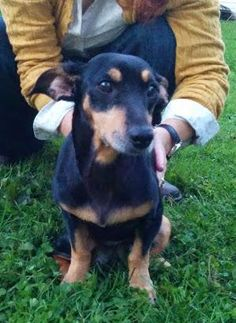 WINKY - precious little girl! is an adoptable Dachshund Dog in Medora, IN WINKY IS IN A FOSTER HOME IN BLOOMINGTON, INDIANA....Winky had a very hard life before she was ... ...Read more about me on @petfinder.com