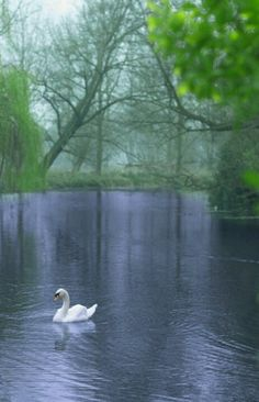 Swans are so peaceful - will always remind me of Dad....
