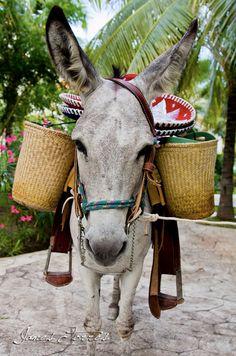 Burros Burros Burros, Donkeys Donkeys Donkeys