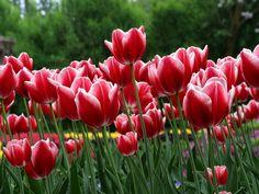 Tulipanes en primavera