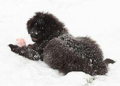 Newfoundland Puppy, Ignatius
