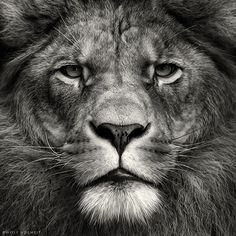 http://webneel.com/daily/sites/default/files/images/daily/04-2013/1-lion-black-and-white-photography.jpg