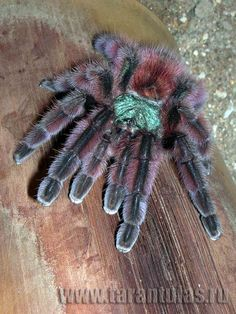What Color Are Tarantulas Pet Spider, Spider Webs, Cool Insects, Itsy Bitsy Spider, Jumping Spider, Pink Toes, A Bug's Life, Beautiful Bugs, Mundo Animal