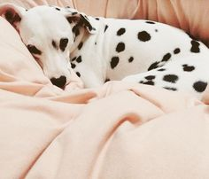 Dalmatian with lovely markings
