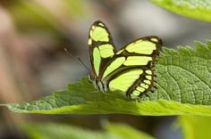Belize Photo of the Day: The Malachite Butterfly http://belize-travel-blog.chaacreek.com/2013/10/belize-photo-of-the-day-the-malachite-butterfly/ via @Chaa Creek