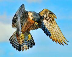 Hawk preparing to dive: Photo by Photographer Jerry Sundin :)