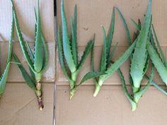 Propagating Aloe Plants