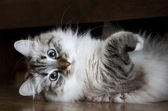 Siberian cat  (55 pictures) (32)