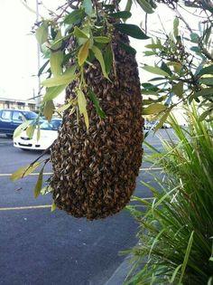 Bee  hive?