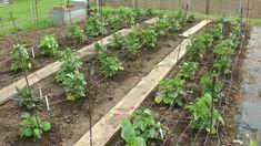 Planting out Dahlias