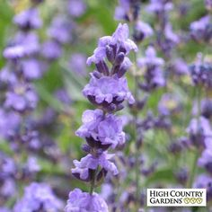 Sharon Roberts is my favorite twice blooming English lavender. It has long, thin spikes of bicolored lavender-blue over gray-green foliage. Blooming in late spring and again in September, it is an outstanding and distinct selection.