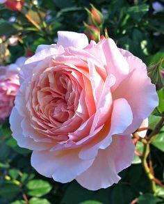 English rose 'A Shropshire Lad'