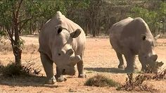 A last chance to save the Northern White rhinos. sad to see our white rhino's become extinct.. positive thinking can keep them going. THEY WILL PROCREATE!!! BELEIVE<3