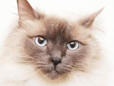 ROCKY is an adoptable Ragdoll Cat in Middletown, RI. Rocky can be alittle shy, but a definitely lap cat. This good looking guy would love to go to a new home, but would hate to leave his bestie Teddy ...