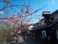 倉敷美観地区と開花した桜