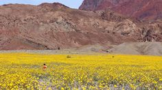 Flowering desert! http://www.bbc.com/travel/story/20160303-a-deserts-once-in-a-decade-super-bloom