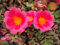 Full size picture of Purslane, Pigweed, Wild Portulaca, Little Hogweed, Pusley 'Toucan Scarlet Shades' (Portulaca oleracea)