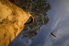 amazonas (arbol de caucho de 34 mtros)