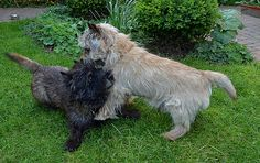 Cairn terriers playing